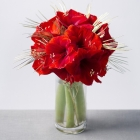 Christmas Amaryllis Large