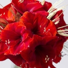 Image of Christmas Amaryllis
