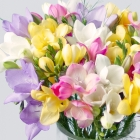 Image of Fragrant Freesias