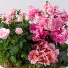 Image of Pink Blooms Planter