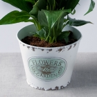 Image of Peace Lily in Zinc Pot