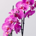Image of Phalaenopsis Orchid in Zinc Pot