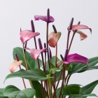 Image of Purple Anthurium Plant