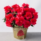 Image of Red Azalea in Gold Pot
