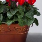 Image of Red Cyclamen Duo
