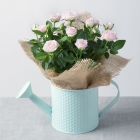 Rose Plant in Watering Can