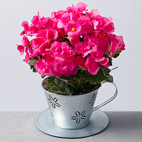 Thumbnail photograph of Begonia in Zinc Teacup
