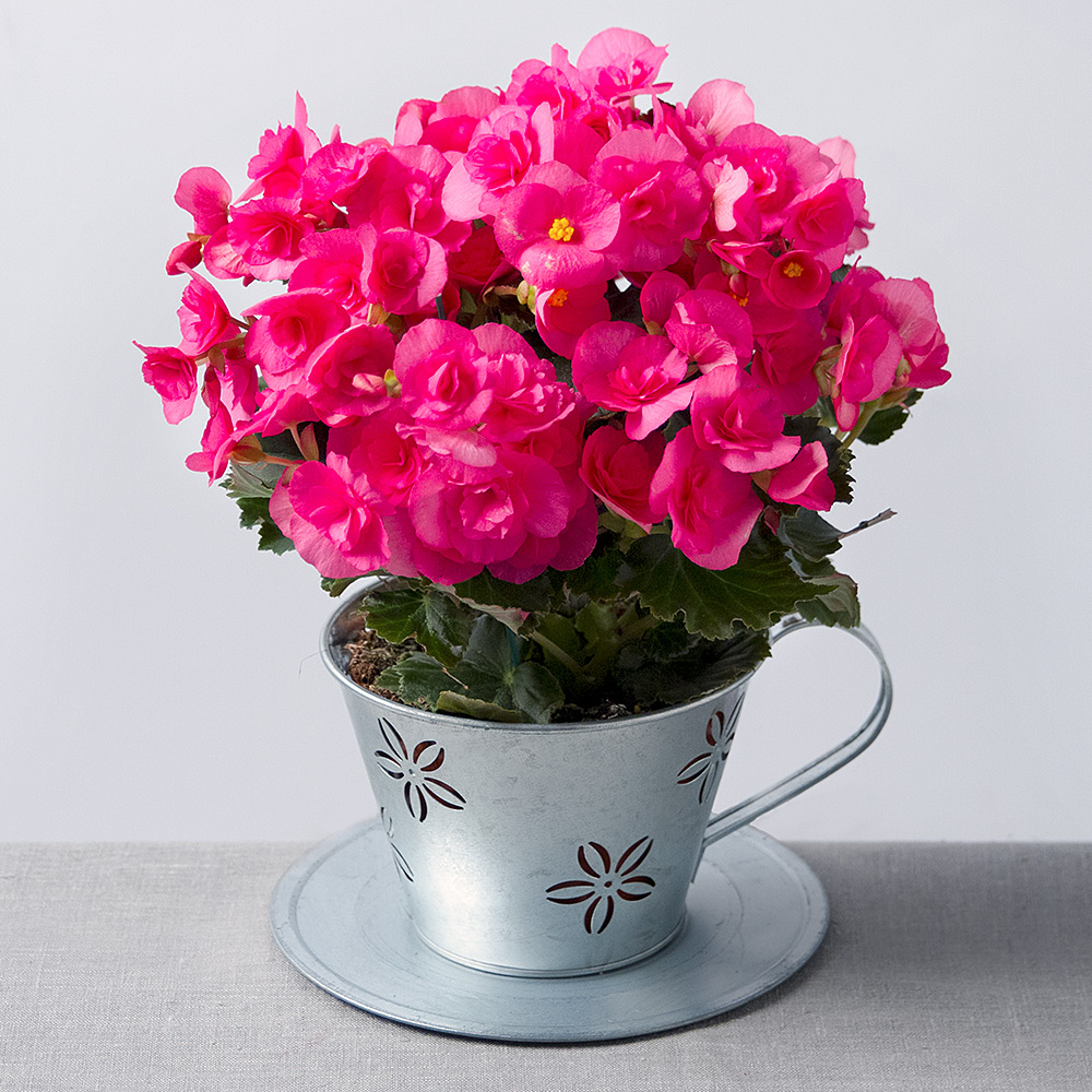 Begonia in zinc teacup house plants bunches image of begonia in zinc teacup mightylinksfo Image collections