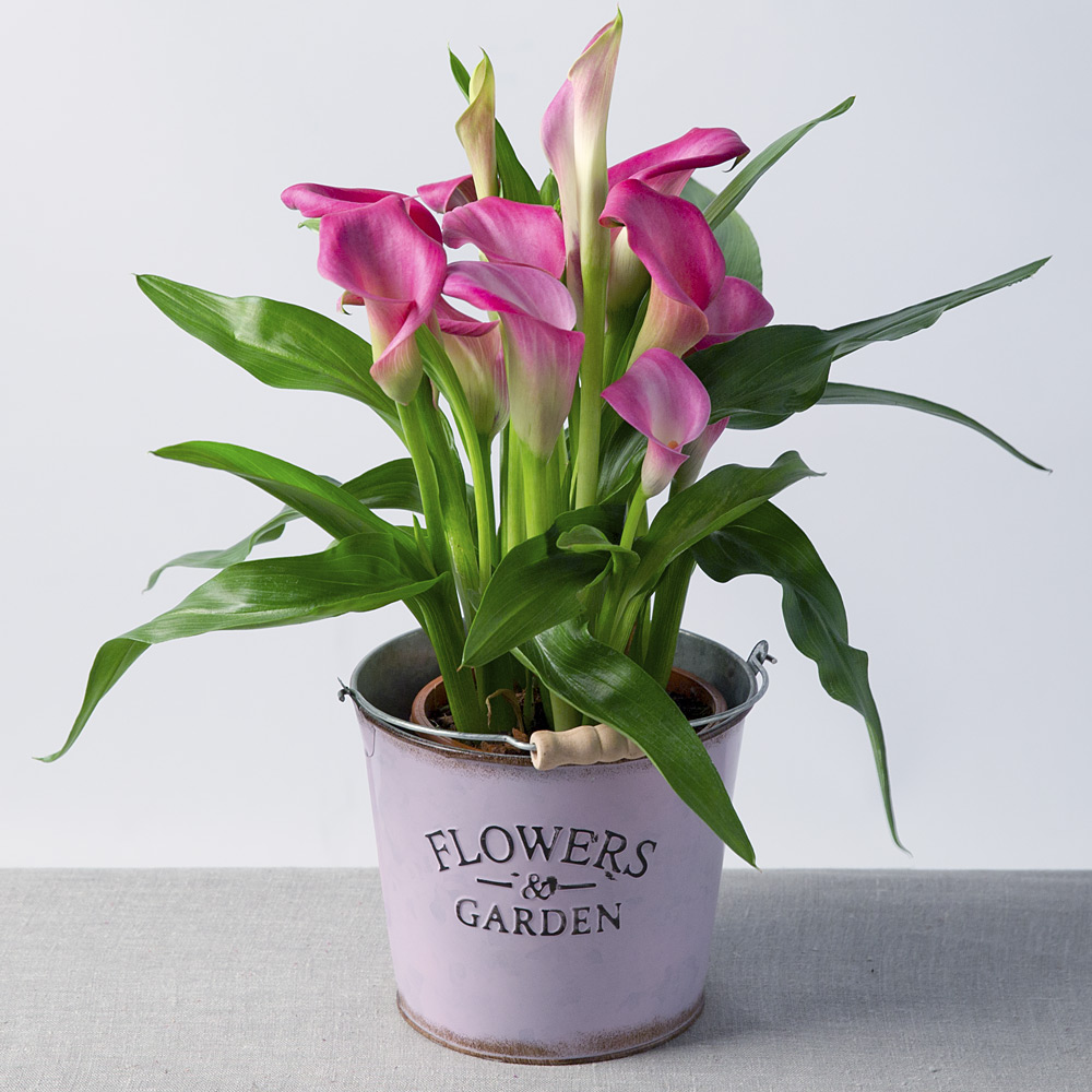 Image of This gorgeous Calla Lily plant with unique trumpet shaped flowers will make an excellent addition to the home.Displayed in a pretty Moselle pot, it will make a lovely gift to send to someone special.