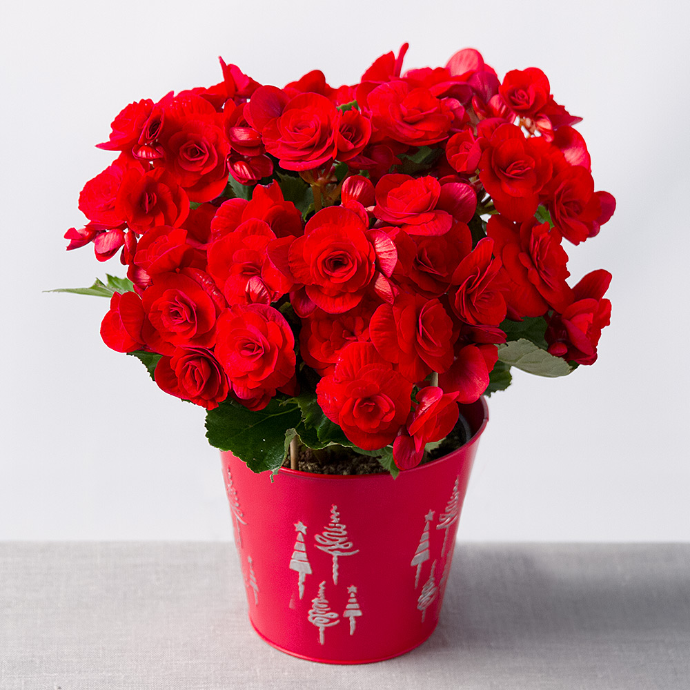 photograph of christmas begonia - Red Flowering House Plants