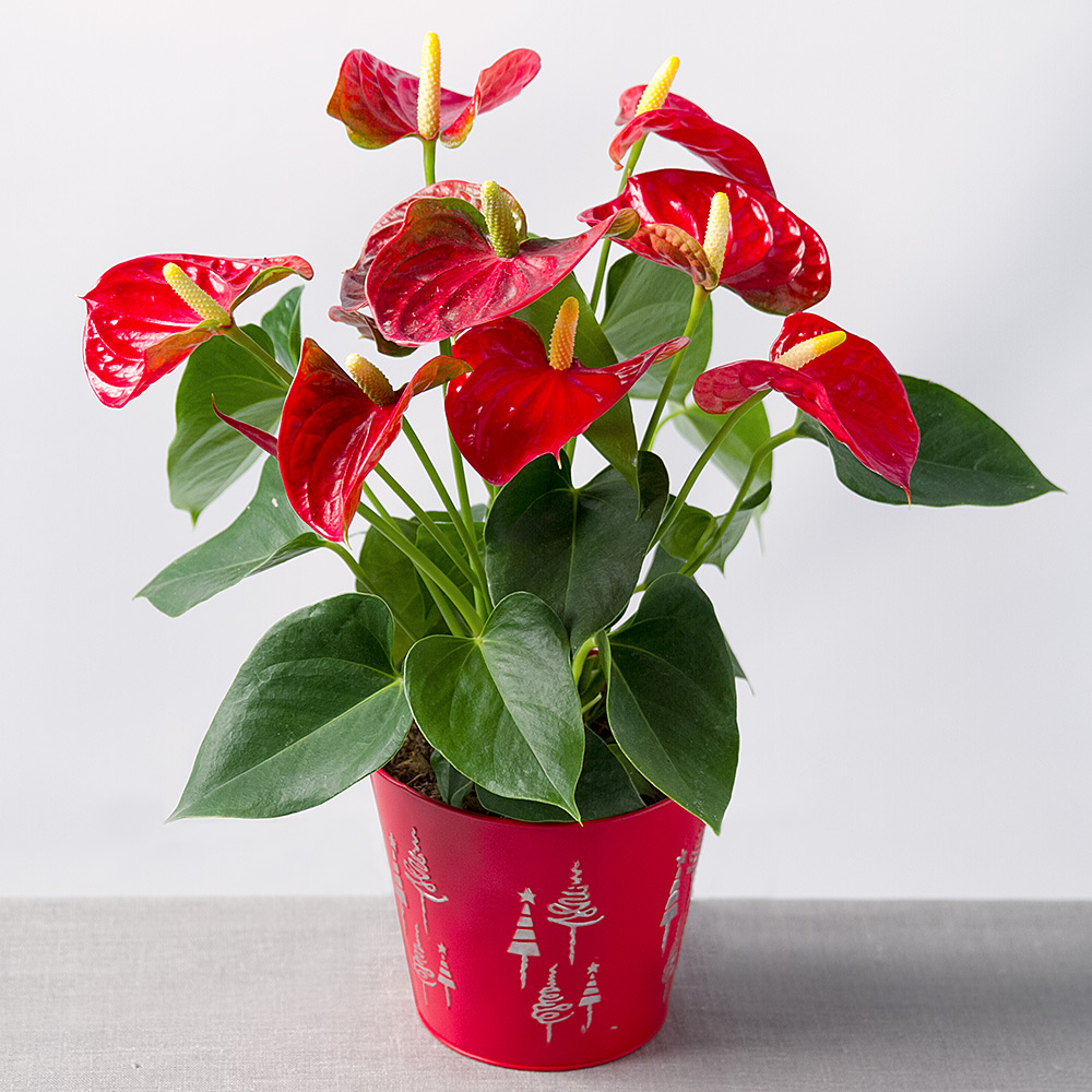 PRODUCT_PLANTS_Christmas_Red_Anthurium_image1