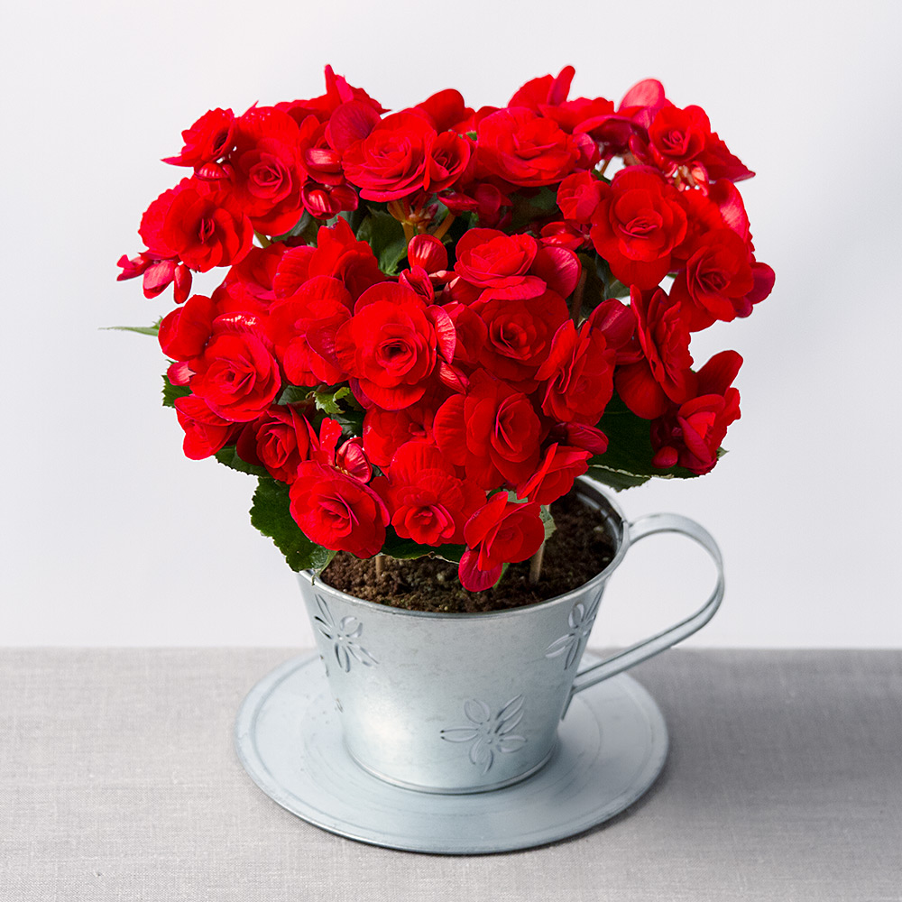 photograph of festive begonia in teacup - Red Flowering House Plants