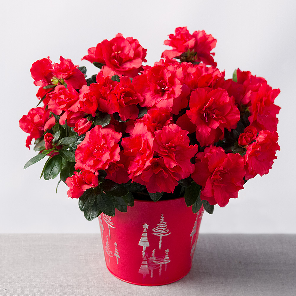 photograph of festive red azalea - Red Flowering House Plants