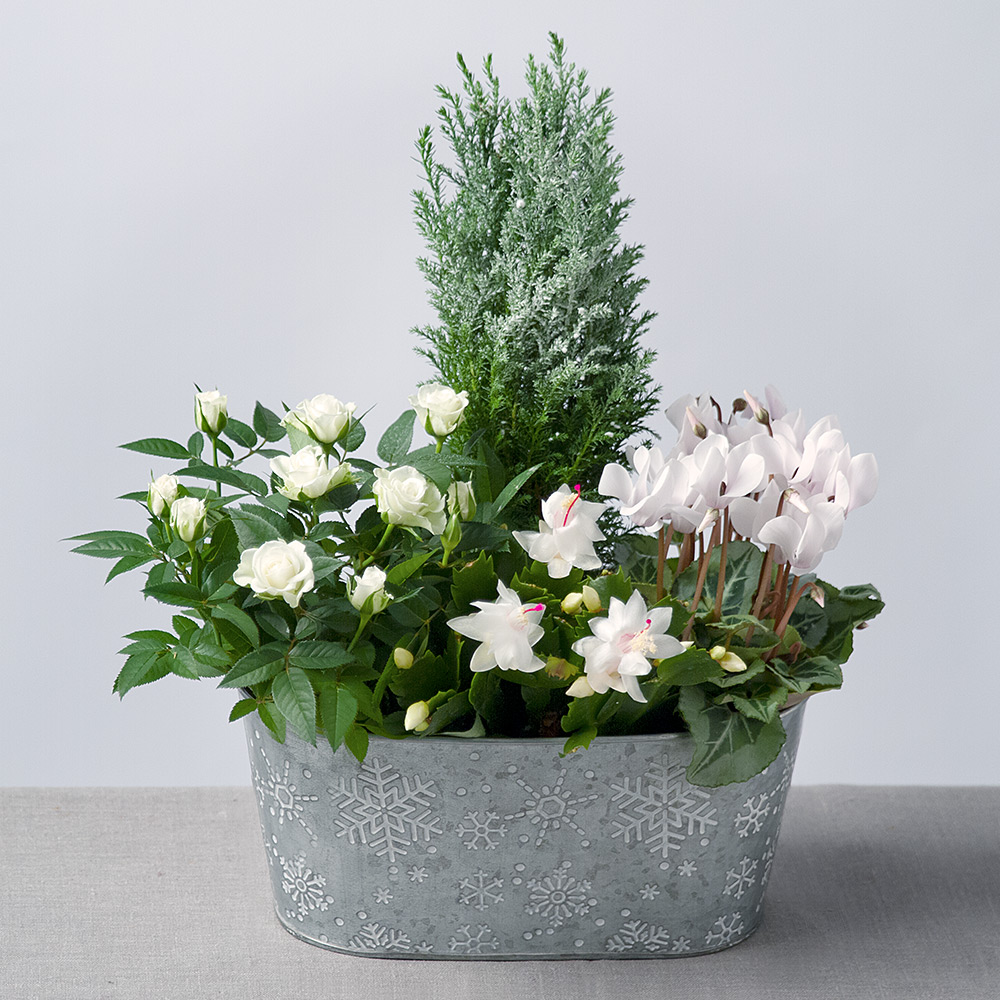 Image of This charming seasonal planter of pure white Cyclamen, white Rose plant and a snow-dusted Conifer will make a delightful gift. A white Christmas Cactus adds a modern twist on a Christmas classic!