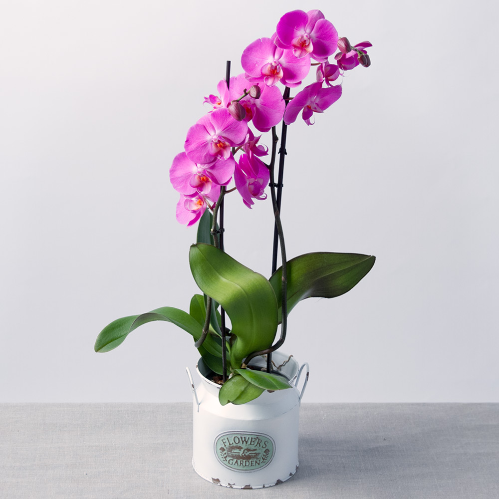 Image of An elegant twin-stemmed Phalaenopsis orchid plant. This stylish plant, originating in South East Asia, displays multiple 'butterfly' flower heads.The Phalaenopsis Orchid makes an instant impact and is a great way for you to show a loved one you care on their special day.Delivered in a delightful vintage zinc pot.*Phalaenopsis Orchid Colours may vary according to supply.