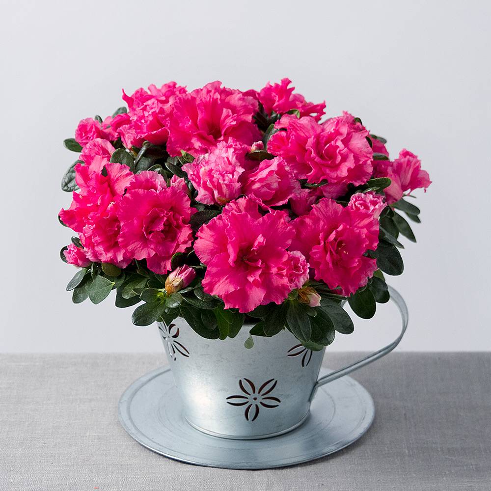 Pink azalea in teacup pink azalea plant bunches image of pink azalea in teacup mightylinksfo Image collections