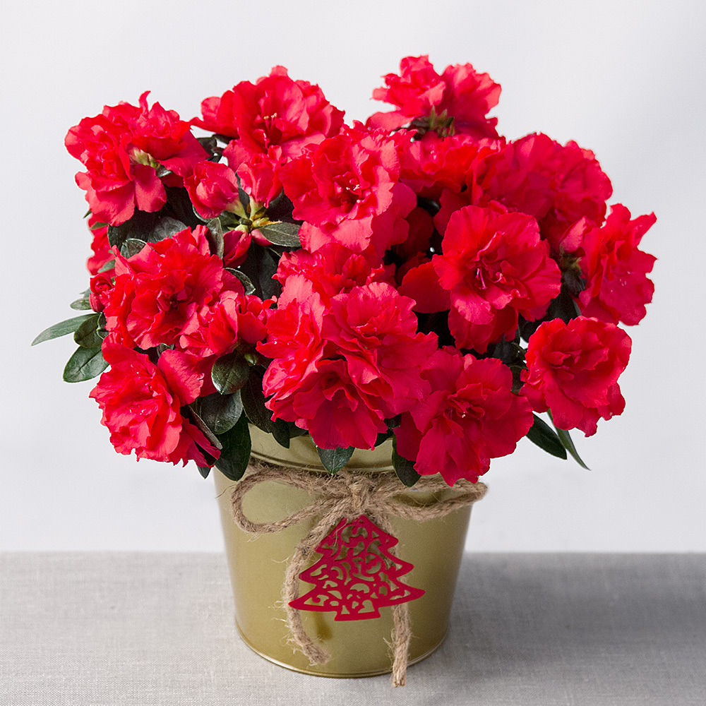 Image of This beautiful red Azalea plant will really inject a touch of Christmas colour to the home!Presented in a stunning gold zinc pot, it will make the perfect gift for someone special.