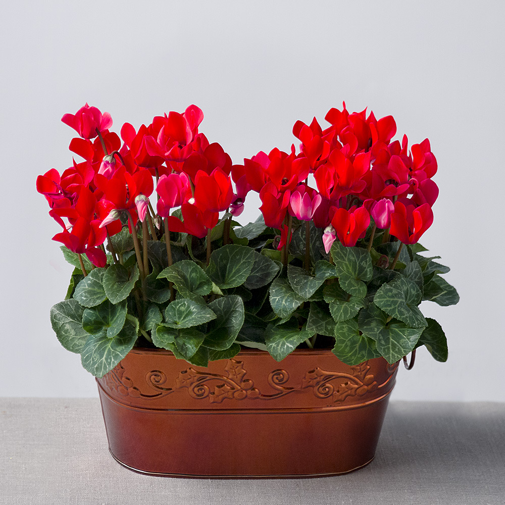 Image of This beautiful flower planter features two pretty, bright & bold red Cyclamen. Displayed in an attractive bronze Zinc planter it makes a lovely gift for this Christmas time.