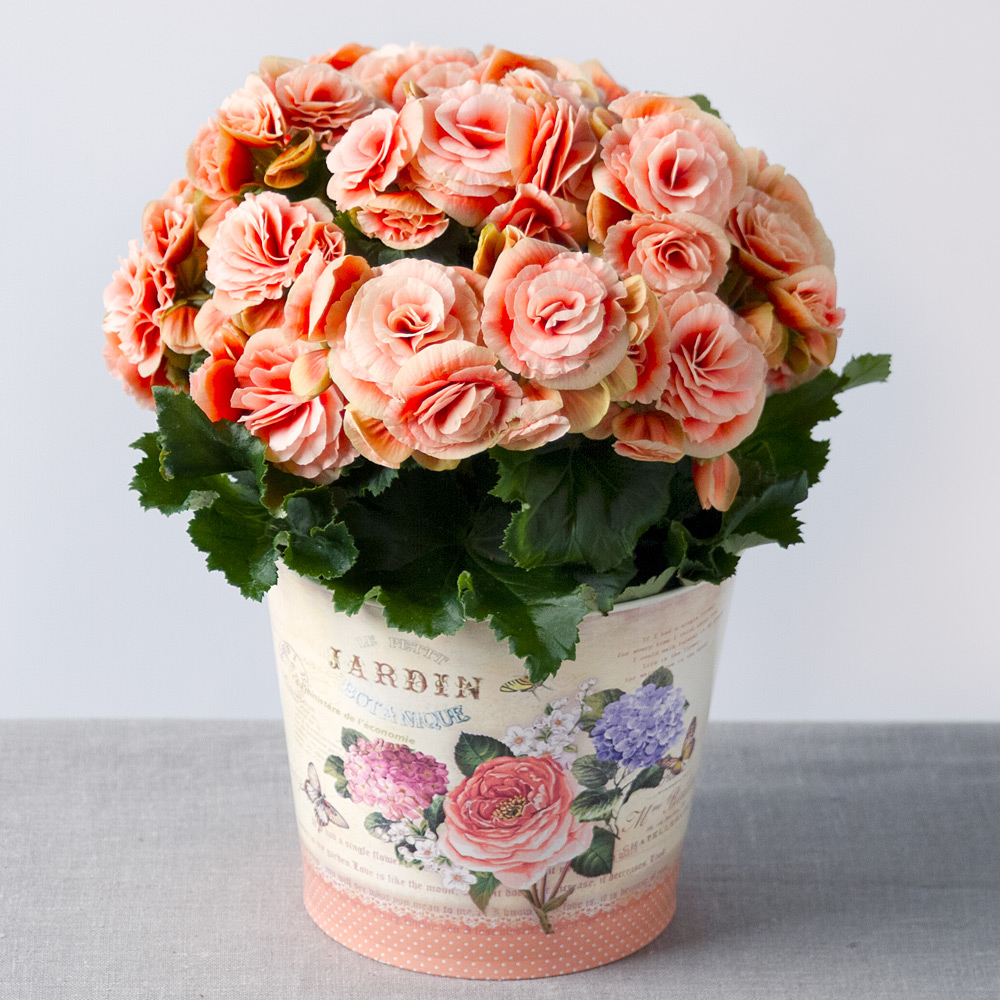 Image of A beautiful pink Begonia house plant presented in a 'Jardin Botanique' vintage style zinc pot.This charming flowering house plant will make a perfect long-lasting gift, suitable for any occasion.