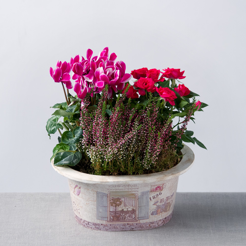 Image of A gorgeous selection of pink plants feature in this cute vintage style flower planter.  A delightful cerise Rose Plant is the talking point and is accompanied by lilac Heather and a two-tone pink Cyclamen.
