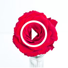 Video of 12 Red Roses